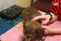 Cocoa getting acupuncture